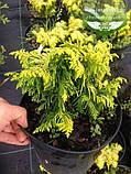 Chamaecyparis lawsoniana 'Jeanette', Кипарисовик Лавсона 'Жанет',C2 - горщик 2л,15-20см, фото 2