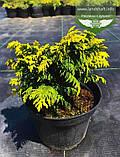 Chamaecyparis lawsoniana 'Jeanette', Кипарисовик Лавсона 'Жанет',C2 - горщик 2л,15-20см, фото 6