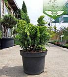 Chamaecyparis lawsoniana 'Jeanette', Кипарисовик Лавсона 'Жанет',C2 - горщик 2л,15-20см, фото 8