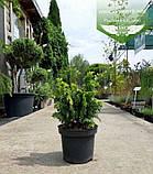 Chamaecyparis lawsoniana 'Jeanette', Кипарисовик Лавсона 'Жанет',C2 - горщик 2л,15-20см, фото 9