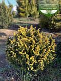 Chamaecyparis lawsoniana 'Jeanette', Кипарисовик Лавсона 'Жанет',C2 - горщик 2л,15-20см, фото 10