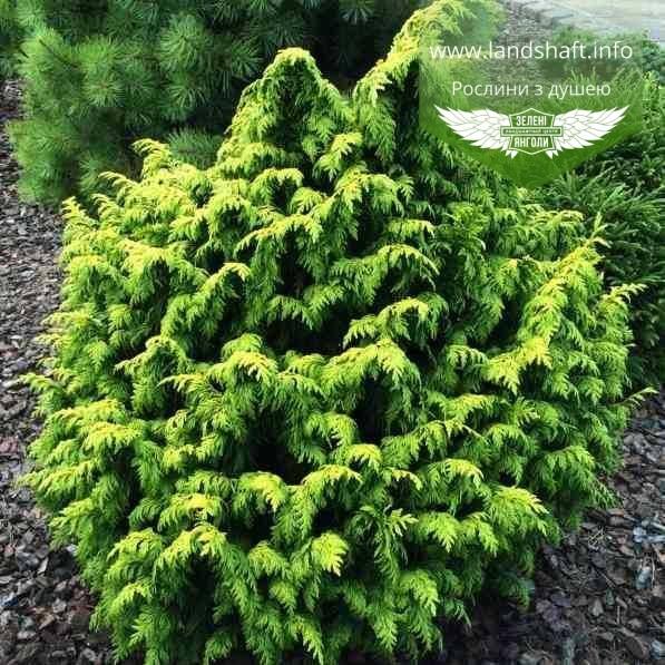 Chamaecyparis lawsoniana 'Jeanette', Кипарисовик Лавсона 'Жанет',WRB - ком/сітка,50-60см
