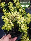 Chamaecyparis lawsoniana 'Jeanette', Кипарисовик Лавсона 'Жанет',WRB - ком/сітка,50-60см, фото 3