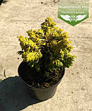 Chamaecyparis lawsoniana 'Jeanette', Кипарисовик Лавсона 'Жанет',WRB - ком/сітка,50-60см, фото 5