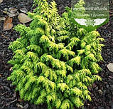 Chamaecyparis lawsoniana 'Jeanette', Кипарисовик Лавсона 'Жанет',WRB - ком/сітка,50-60см, фото 7