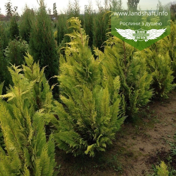 Chamaecyparis lawsoniana 'Lane', Кипарисовик Лавсона 'Лейн',WRB - ком/сітка,100-120см