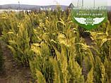 Chamaecyparis lawsoniana 'Lane', Кипарисовик Лавсона 'Лейн',WRB - ком/сітка,100-120см, фото 3