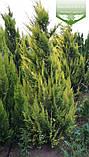 Chamaecyparis lawsoniana 'Lane', Кипарисовик Лавсона 'Лейн',WRB - ком/сітка,100-120см, фото 4