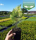 Chamaecyparis lawsoniana 'Lane', Кипарисовик Лавсона 'Лейн',WRB - ком/сітка,100-120см, фото 7
