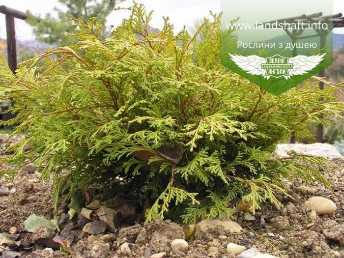 Chamaecyparis obtusa 'Kamarachiba', Кипарисовика туполистий 'Камарачіба',C2 - горщик 2л