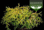 Chamaecyparis obtusa 'Kamarachiba', Кипарисовика туполистий 'Камарачіба',C2 - горщик 2л, фото 2