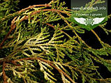 Chamaecyparis obtusa 'Kamarachiba', Кипарисовика туполистий 'Камарачіба',C2 - горщик 2л, фото 3
