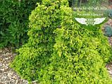 Chamaecyparis obtusa 'Tsatsumi Gold', Кипарисовик туполистий 'Цацумі Голд',P7-Р9 - горщик 9х9х9, фото 3