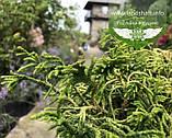 Chamaecyparis obtusa 'Tsatsumi Gold', Кипарисовик туполистий 'Цацумі Голд',P7-Р9 - горщик 9х9х9, фото 5