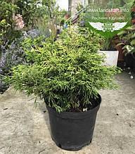 Chamaecyparis obtusa 'Tsatsumi Gold', Кипарисовика туполистий 'Цацумі Голд',C5-C7 - горщик 5-7л