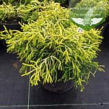Chamaecyparis obtusa 'Tsatsumi Gold', Кипарисовик туполистий 'Цацумі Голд',C5-C7 - горщик 5-7л, фото 2