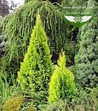 Thuja occidentalis 'Golden Smaragd', Туя західна 'Голден Смарагд',C2 - горщик 2л,20-30см, фото 2