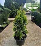 Thuja occidentalis 'Golden Smaragd', Туя західна 'Голден Смарагд',C2 - горщик 2л,20-30см, фото 4