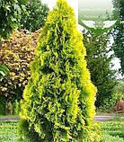 Thuja occidentalis 'Golden Smaragd', Туя західна 'Голден Смарагд',C2 - горщик 2л,20-30см, фото 7