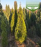 Thuja occidentalis 'Golden Smaragd', Туя західна 'Голден Смарагд',C2 - горщик 2л,20-30см, фото 10