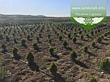 Thuja occidentalis 'Golden Smaragd', Туя західна 'Голден Смарагд',WRB - ком/сітка,40-60см, фото 8