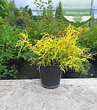 Chamaecyparis pisifera 'Filifera Aurea', Кипарисовик горохоплідний 'Філіфера Ауреа',C5 - горщик 5л,20-40см, фото 8