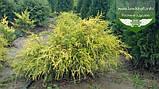 Chamaecyparis pisifera 'Filifera Aurea', Кипарисовик горохоплідний 'Філіфера Ауреа',C5 - горщик 5л,20-40см, фото 10