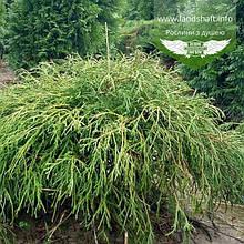 Chamaecyparis pisifera 'Filifera Nana', Кипарисовик горохоплідний 'Філіфера Нана',C2 - горщик 2л,15-20см