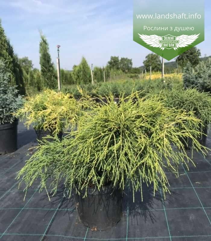 Chamaecyparis pisifera 'Sungold', Кипарисовик горохоплідний 'Санголд',C2 - горщик 2л,20-40см