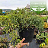 Chamaecyparis pisifera 'Sungold', Кипарисовик горохоплідний 'Санголд',C2 - горщик 2л,20-40см, фото 4