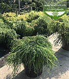 Chamaecyparis pisifera 'Sungold', Кипарисовик горохоплідний 'Санголд',C2 - горщик 2л,20-40см, фото 6