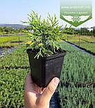 Chamaecyparis pisifera 'Sungold', Кипарисовик горохоплідний 'Санголд',C2 - горщик 2л,20-40см, фото 7