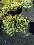 Chamaecyparis pisifera 'Sungold', Кипарисовик горохоплідний 'Санголд',30-50см,C5-C7 - горщик 5-7л, фото 2