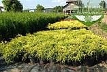 Chamaecyparis pisifera 'Sungold', Кипарисовик горохоплідний 'Санголд',30-50см,C5-C7 - горщик 5-7л, фото 3