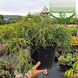Chamaecyparis pisifera 'Sungold', Кипарисовик горохоплідний 'Санголд',30-50см,C5-C7 - горщик 5-7л, фото 4