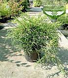 Chamaecyparis pisifera 'Sungold', Кипарисовик горохоплідний 'Санголд',30-50см,C5-C7 - горщик 5-7л, фото 5