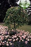 Ulmus glabra 'Camperdownii', У яз плакучий 'Кампердауні',C80 - горщик 80л,240-260см,TG10-12, фото 3
