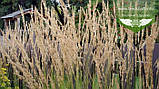 Calamagrostis acutiflora 'Karl Foerster', Війник гостроквітковий 'Карл Форстер',C2 - горщик 2л, фото 3