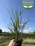 Calamagrostis acutiflora 'Karl Foerster', Війник гостроквітковий 'Карл Форстер',C2 - горщик 2л, фото 4