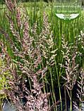 Calamagrostis acutiflora 'Karl Foerster', Війник гостроквітковий 'Карл Форстер',C2 - горщик 2л, фото 5