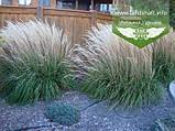 Calamagrostis acutiflora 'Karl Foerster', Війник гостроквітковий 'Карл Форстер',C2 - горщик 2л, фото 7