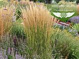 Calamagrostis acutiflora 'Karl Foerster', Війник гостроквітковий 'Карл Форстер',C2 - горщик 2л, фото 8