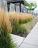 Calamagrostis acutiflora 'Karl Foerster', Війник гостроквітковий 'Карл Форстер',C2 - горщик 2л, фото 10