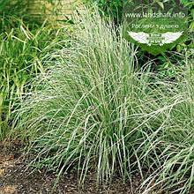 Calamagrostis acutiflora 'Overdam', Війник гостроквітковий 'Овердам',C2 - горщик 2л