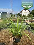 Calamagrostis brachytricha, Війник брильянтовий,C2 - горщик 2л, фото 3