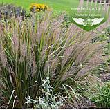 Calamagrostis brachytricha, Війник брильянтовий,C2 - горщик 2л, фото 7