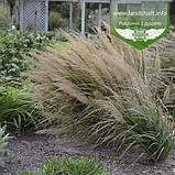 Calamagrostis brachytricha, Війник брильянтовий,C2 - горщик 2л, фото 9
