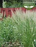 Calamagrostis brachytricha, Війник брильянтовий,C2 - горщик 2л, фото 10