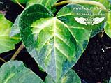 Hedera colchica 'Sulphur Heart', Плющ колхідський 'Сулфур Харт',C2 - горщик 2л, фото 5