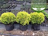 Thuja occidentalis 'Mirjam', Туя західна 'Мір'ям',WRB - ком/сітка,30-40 см, фото 2